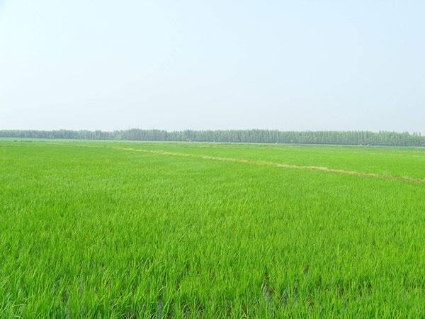 稻香米种植